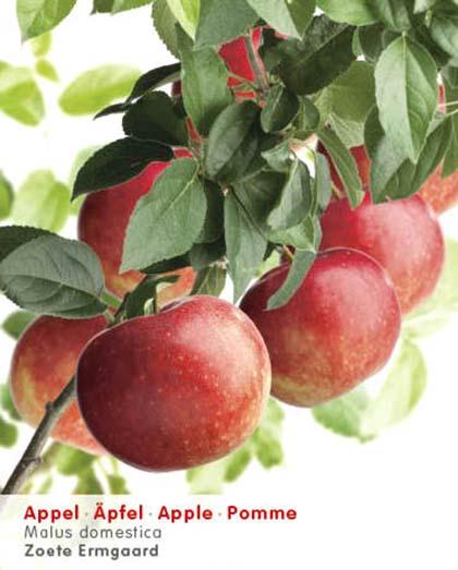Malus domestica 'Zoete Ermgaard' - appel, oud appelras