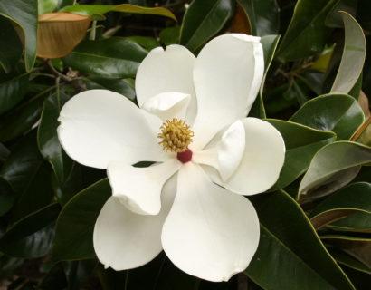 Magnolia grandiflora boom - Beverboom