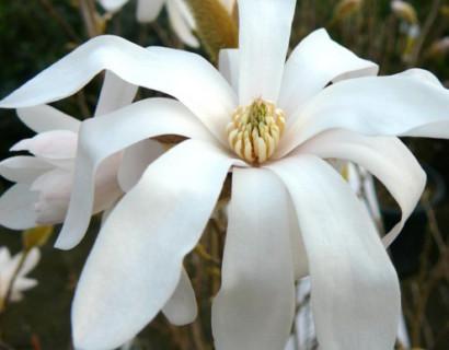 Magnolia stellata pot 5 liter
