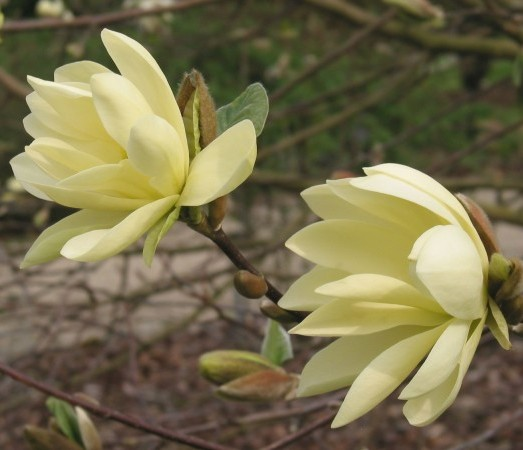Magnolia 'Gold Star' - beverboom