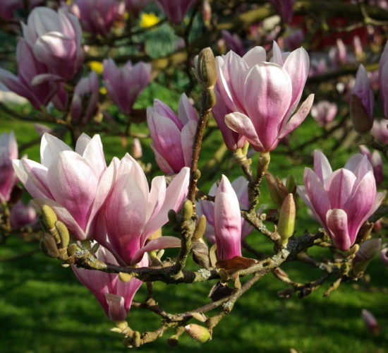 Magnolia soulangiana - beverboom
