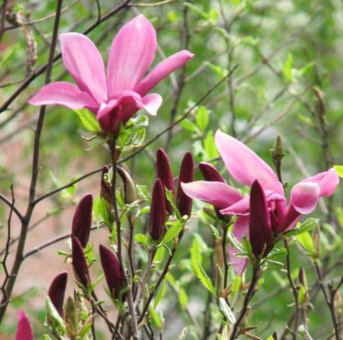 Magnolia 'Susan' - beverboom