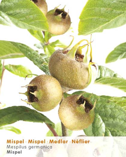 Mespilus germanica - mispel