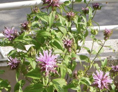Monarda 'Beauty of Cobham' - bergamotplant