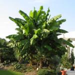 Hoe bescherm ik mijn bananenplant in de winter?