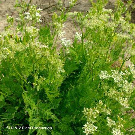 Myrrhis odorata - roomse kervel