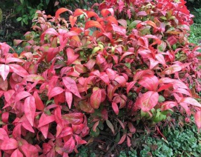 Nandina domestica 'Fire Power' - schijnbamboe