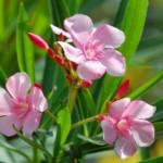 Hoe moet ik mijn Oleander snoeien?