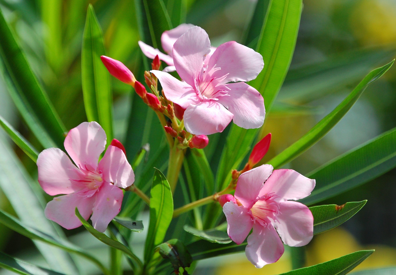 oleander snoeien