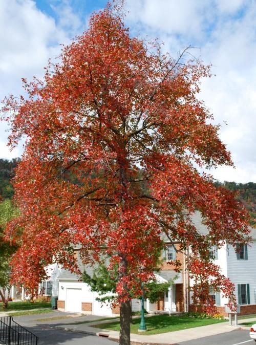 Nyssa sylvatica 'Wildfire' - zwarte tupeloboom