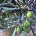 Hoe overwinter ik mijn olijfboom?