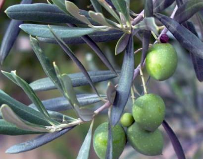 Wanneer en hoe moet ik mijn olijfbomen snoeien?