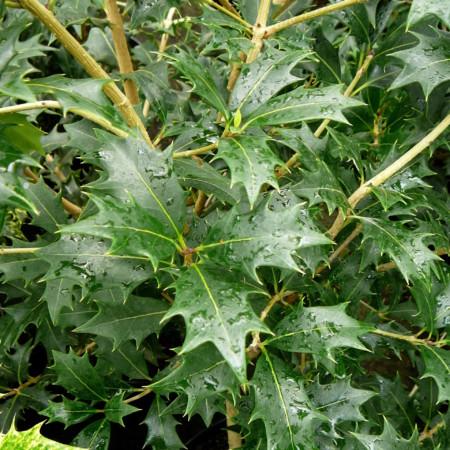 Osmanthus heterophyllus - schijnhulst