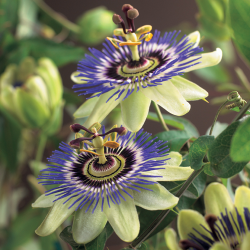 Passiflora caerulea - passiebloem