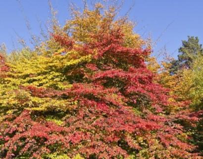 Parrotia persica meerstammig - Perzisch ijzerhout