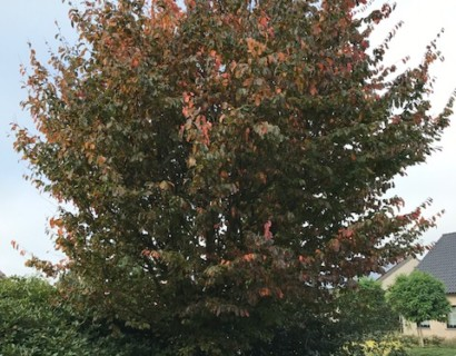 Parrotia persica boom - Perzisch ijzerhout