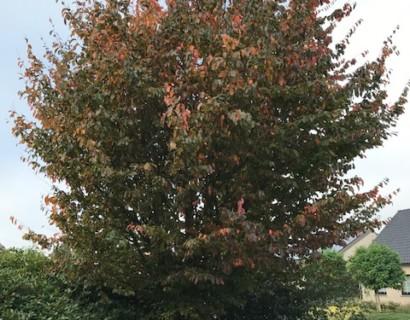 Parrotia persica kluit 250/300 cm