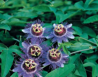 Passiflora 'Purple Haze' pot 3 liter - passiebloem