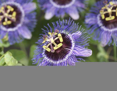 Passiflora 'Purple Rain' - passiebloem