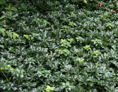 Pachysandra terminalis 'Green Sheen' - Chinese kamperfoelie