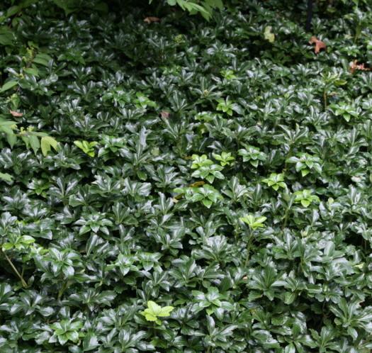 Pachysandra terminalis 'Green Sheen' -