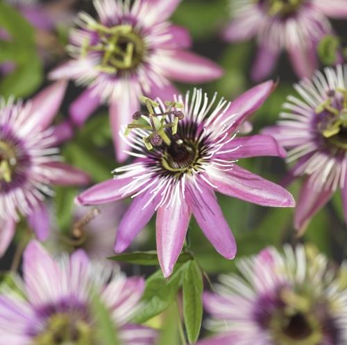 Passiflora 'Victoria' - passiebloem