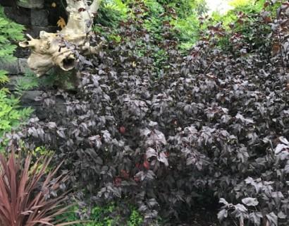Physocarpus 'Diabolo' - blaasspiraea