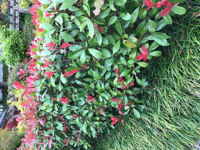 Haie Fleurie Persistante Arbustes