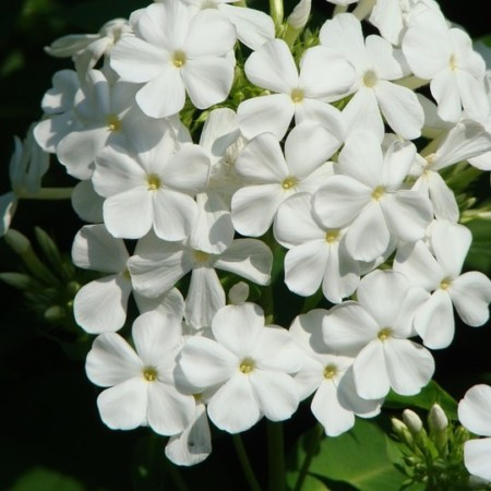 Phlox paniculata 'White Admiral' - vlambloem