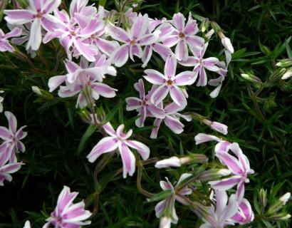 Phlox subulata 'Candy Stripes'