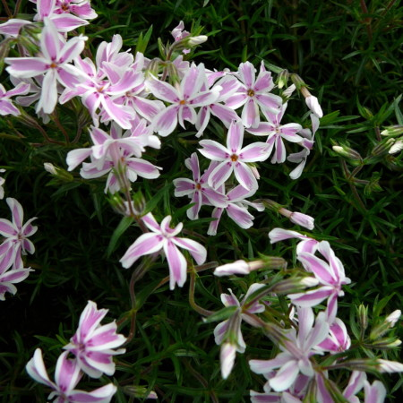 Phlox subulata 'Candy Stripes' - vlambloem