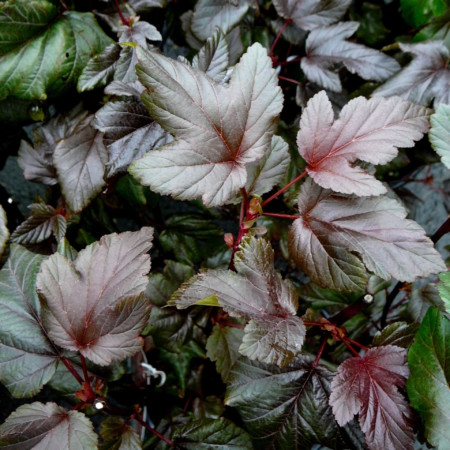 Physocarpus opulifolius 'Lady in Red' - blaasspiraea