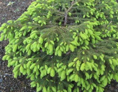 Picea abies 'Nidiformis' - dwergspar