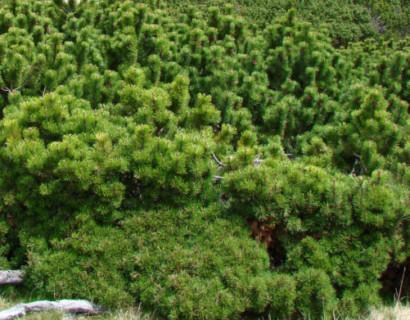 Pinus mugo pumilio - dwergpijnboom, dwergden