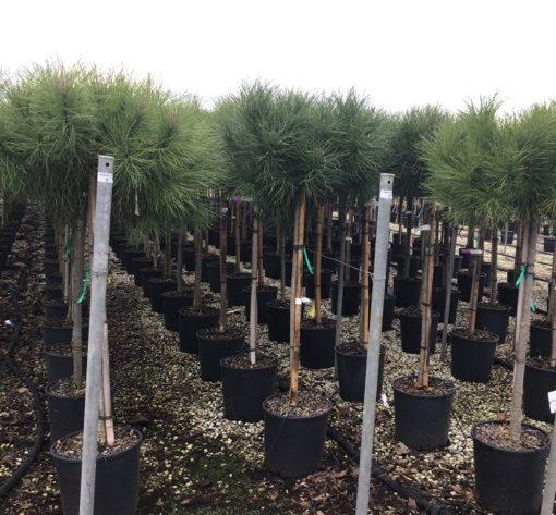 Pinus pinea - parasol-den of pijnboom