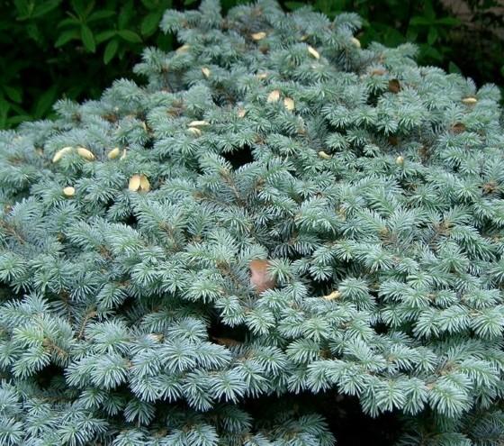 Picea pungens 'Glauca Globosa' - dwergspar