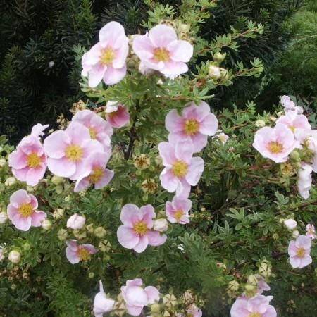 Potentilla fruticosa 'Pink Queen' - ganzerik