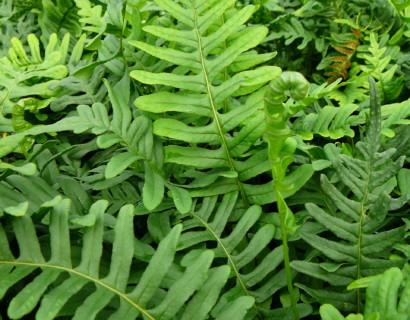 Polypodium vulgare - eikvaren