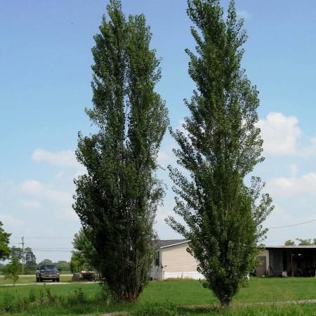 Populus nigra 'Italica' - Italiaanse populier