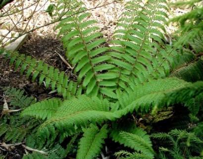 Polystichum setiferum pot 2 liter