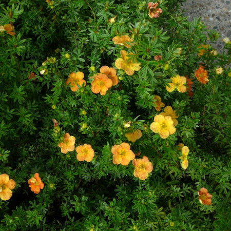 Potentilla fruticosa 'Red Ace' - ganzerik
