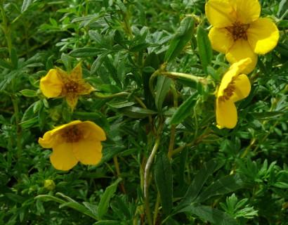 Potentilla fruticosa 'Goldfinger' - ganzerik