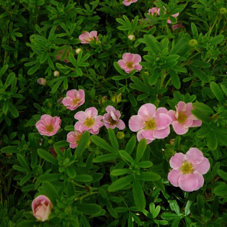 Potentilla fruticosa 'Pink Beauty' - ganzerik