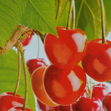 Prunus avium 'Bigarreau Napoleon' - witbuik-kers