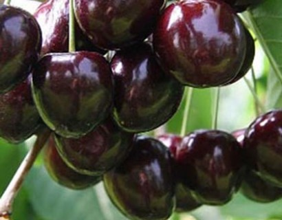 Prunus avium 'Bigarreau Noir'