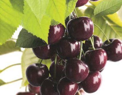 Prunus avium 'Burlat'