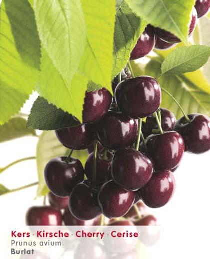 Prunus avium 'Burlat' - kers