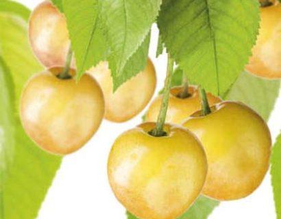 Prunus avium 'Donissens Gold'