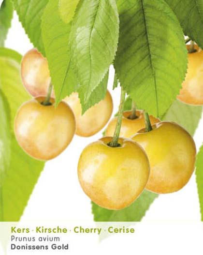 Prunus avium 'Donissens Gold' - kers