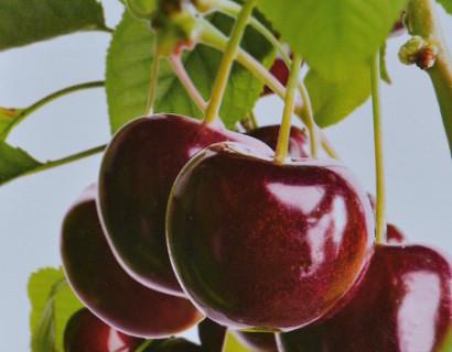 Prunus avium 'Hedelfinger'
